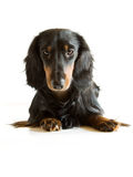 Dachshund noir et brun Photo stock