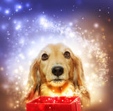 Dachshund opening a magic box Royalty Free Stock Images