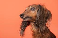 Dachshund on orange background Royalty Free Stock Images