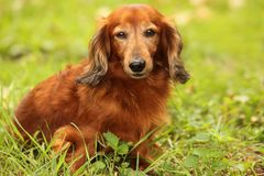 Dachshund outdoor closeup Royalty Free Stock Photo