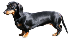 Dachshund over white Stock Photo