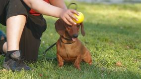 dachshund and owner Stock Images