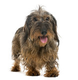 Dachshund panting Stock Photo