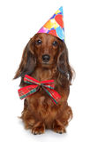 Dachshund in party hat on a white background Royalty Free Stock Image