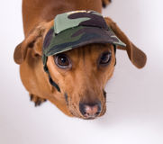 Dachshund in peaked cap Stock Photos