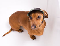 Dachshund in peaked cap Royalty Free Stock Photo