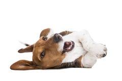 Dachshund piebald dog Royalty Free Stock Images