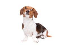Dachshund piebald dog Royalty Free Stock Photography