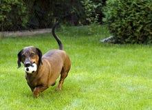 dachshund playfull Στοκ Φωτογραφία
