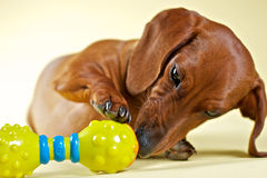 Dachshund playing Stock Photos