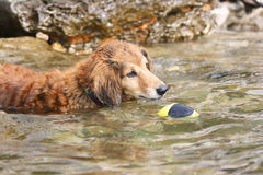 Dachshund is playing in the sea Stock Photos