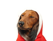 Dachshund pleased Stock Images