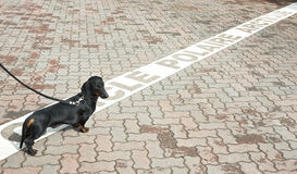 Dachshund on polar circle in Rovaniemi, Finland Royalty Free Stock Images