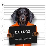 Dachshund police mugshot. Dachshund sausage dog holding a police department banner , as a mugshot photo, at police office royalty free stock photos