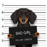 Dachshund police mugshot. Dachshund sausage dog holding a police department banner , as a mugshot photo, at police office Royalty Free Stock Photography