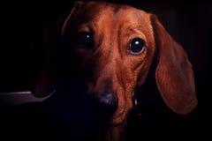 Dachshund-Porträt im Schwarzen lizenzfreie stockfotografie