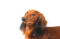 Dachshund portrait Stock Images