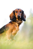 Dachshund Portrait. Portrait of a Dachshund with blurred foreground and background royalty free stock photos