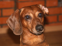 Dachshund portrait. Dachshund in front of a brick background looking at the camera Royalty Free Stock Photography