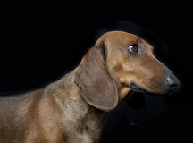 Dachshund. Portrait in front of black background Royalty Free Stock Photo