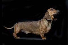 Dachshund. Portrait in front of black background Stock Photo