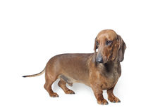 Dachshund. Portrait in front of white background Stock Image