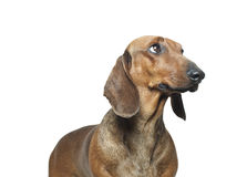 Dachshund. Portrait in front of white background Royalty Free Stock Photo
