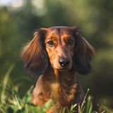 Dachshund Portrait. Portrait of a long haired dachshund in a grass royalty free stock photos