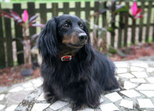Dachshund Portrait Outdoors Stock Photography