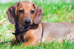 Dachshund portrait Royalty Free Stock Images