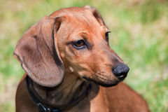 Dachshund portrait. Portrait of a puppy of a dog of the dachshund Royalty Free Stock Photo