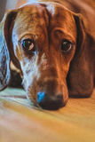 Dachshund. Portrait of small beautiful dog Royalty Free Stock Images