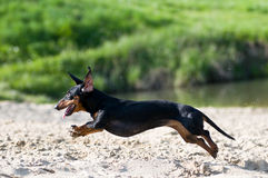 Dachshund portrait in summer Stock Photography