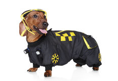 Dachshund portrait wearing hoodie Stock Image