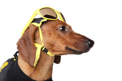 Dachshund portrait in yellow sunglasses Royalty Free Stock Image