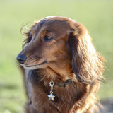 Dachshund portret. Dachshund standing with green background Royalty Free Stock Images