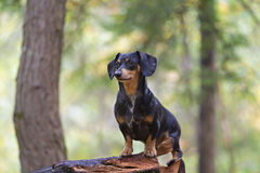 Dachshund posed on firewood pile Stock Photo