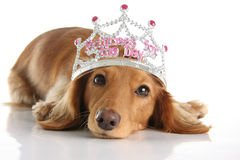 Dachshund princess stock photos