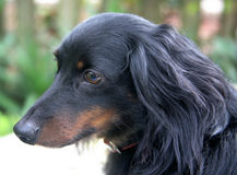 Dachshund in Profile Stock Image