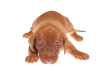Dachshund puppies 011 Stock Photos