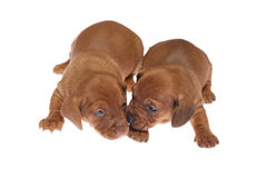 Dachshund puppies 04 Royalty Free Stock Photo