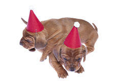 Dachshund puppies 06. Two dachshund puppies in red hat 3 weeks old on white isolated background Royalty Free Stock Images