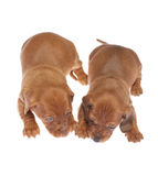 Dachshund puppies 07. Cute 3 weeks old dachshund puppies on white isolated Royalty Free Stock Photo