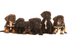 Dachshund puppies. Isolated on white Stock Images