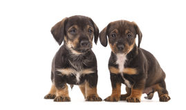 Dachshund puppies. With Messy mouthes, isolated on white Stock Images