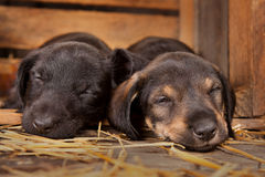 Dachshund puppies. 3 weeks old purebred over wooden  background Royalty Free Stock Images