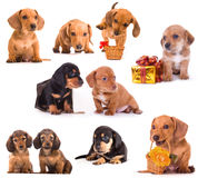 Dachshund puppies. In different poses Royalty Free Stock Images