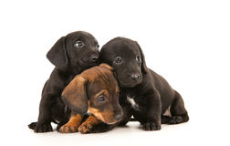 Dachshund puppies. Isolated on white Stock Photography