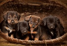 Dachshund puppies 3 weeks old Stock Photography