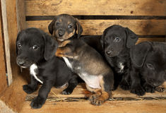 Dachshund puppies 3 weeks old. Purebred over wooden  background Royalty Free Stock Photo